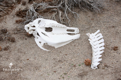 wild horse skull and spine